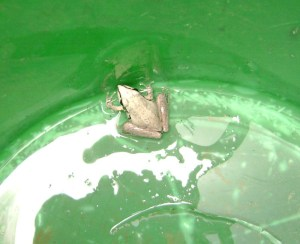 I found this little frog in a bucket, that was left outside last night. I put the little frog into the wettest, most protected part of the garden, and it hopped away